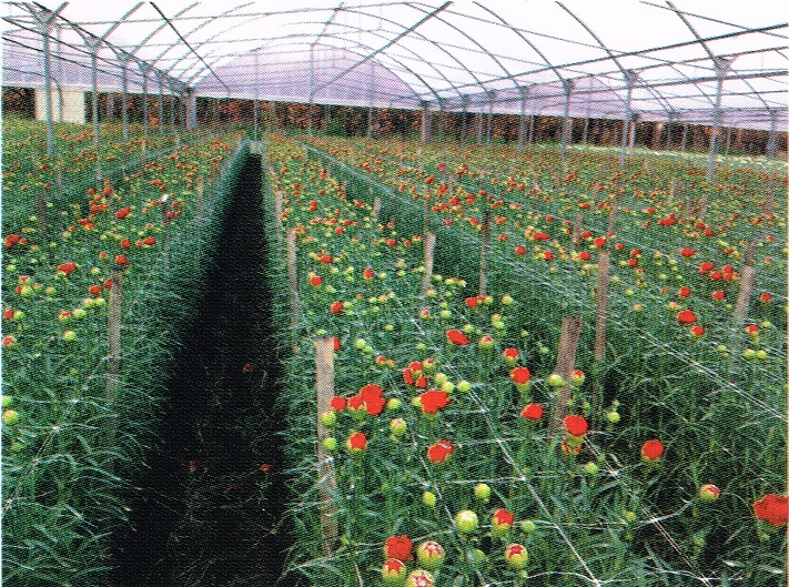Plantacion de clavel