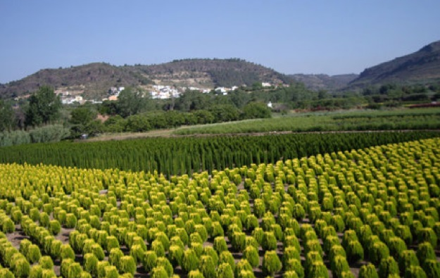 Produccion de coniferas en Valencia