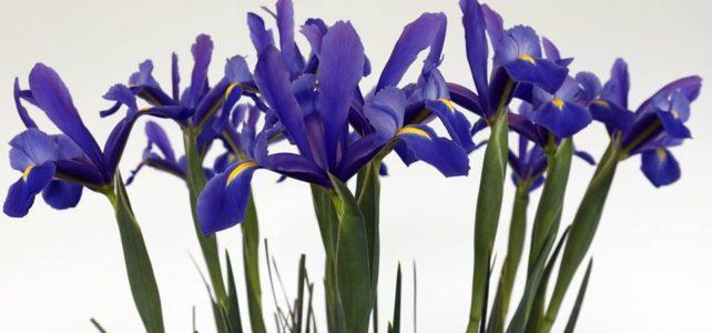 Exhibiciones y concursos de flores en las últimas semanas donde Iris son protagonistas.