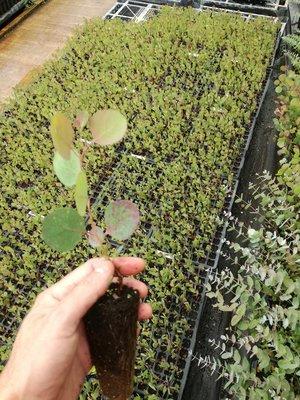 Polyanthemos