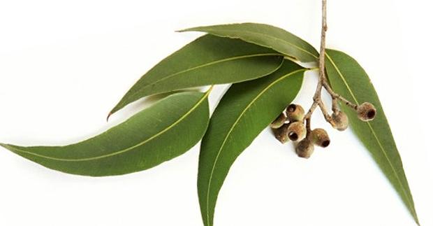 Portada articulo eucalipto